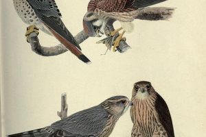 """""""Still the Same Hawk: Reflections on Nature and New York,"""" – John Waldman, Professor of Biology @ the New York Public Library Midtown Branch (May 20, 2013)"""