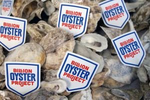 Bringing Back New York's Oysters