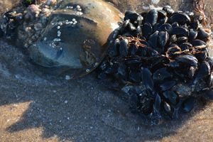 The Sociology of Horseshoe Crabs and the Humans Who Use Them